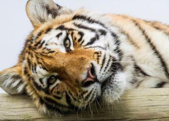 Браконьеры, убившие тигра Павлика, получили более пяти лет колонии