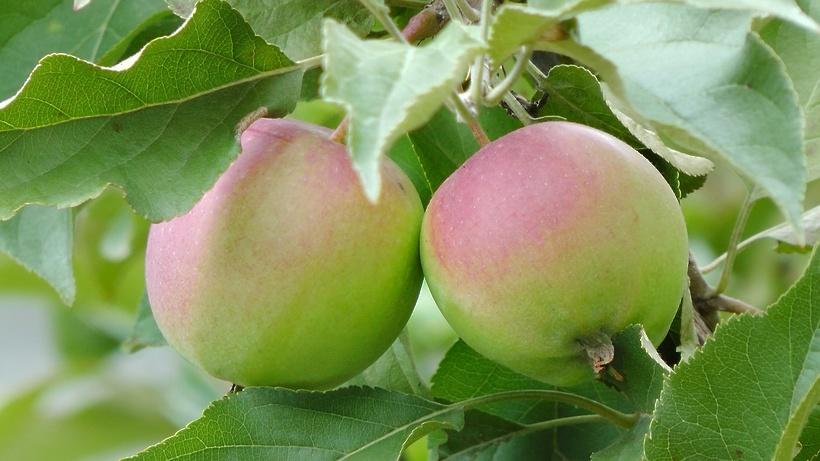 Дачники Подмосковья смогут сдать лишние яблоки на переработку