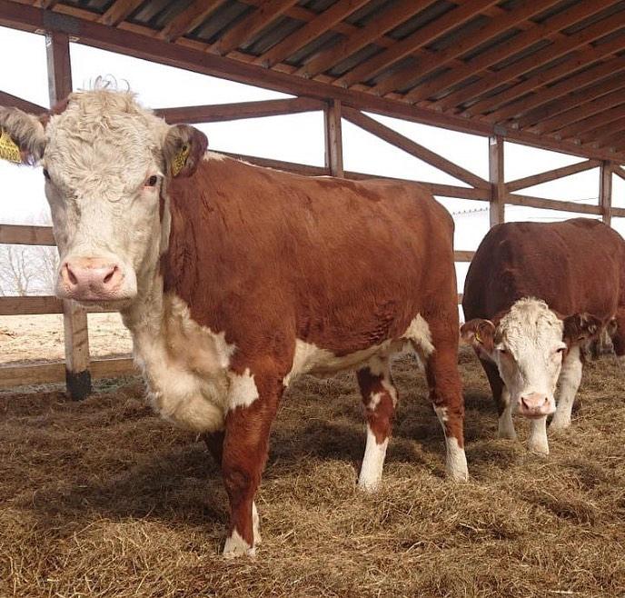 Около 90 голов крупного рогатого скота прибыли из Дании в Волоколамский округ